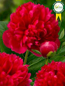 Paeonia-Mary Joe LeGare