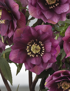 Helleborus or. Queens™-Double Red