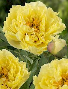 Paeonia Itoh-Yellow Crown