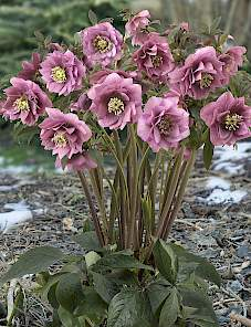 Helleborus or. King™-Double Pink