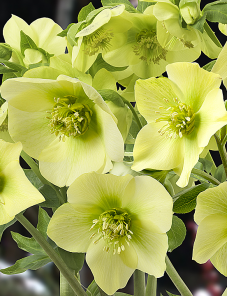 Helleborus or. Queens™-Cream