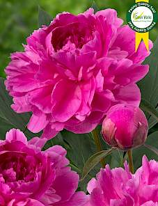 Paeonia-Bunker Hill