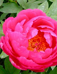 Paeonia-Cytherea