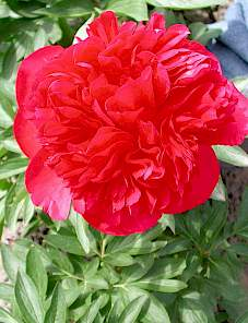 Paeonia-Delaware Chief