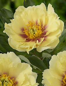 Paeonia Itoh-Shining Light